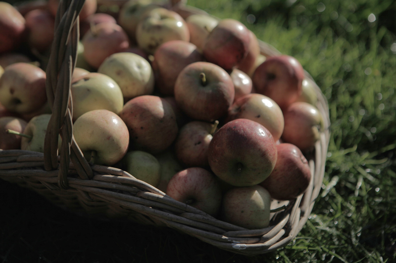 last of the apple harvest at The Pink House Lulworth