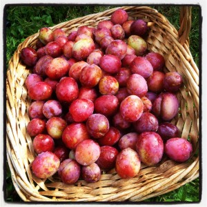 harvest plums from the garden of The Pink House Lulworth Dorset
