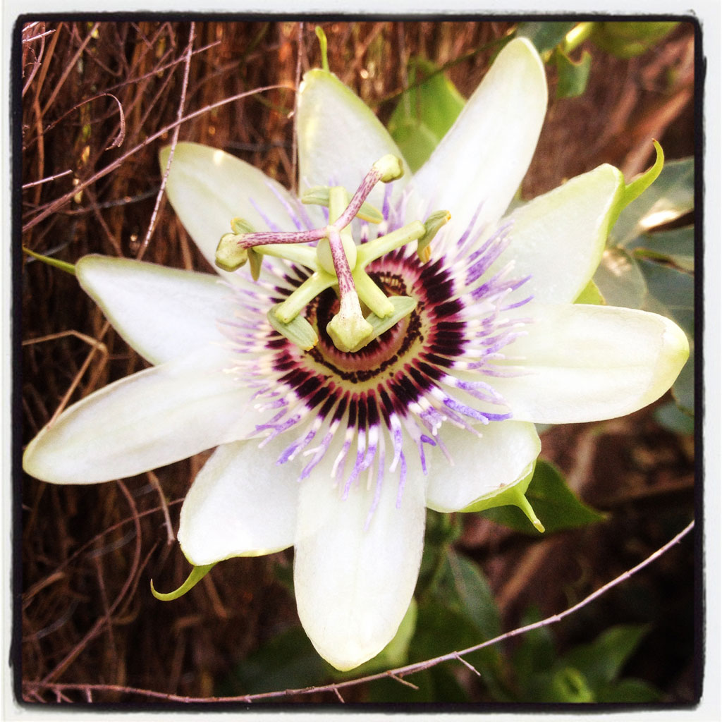 passion flower at The Pink House Lulworth