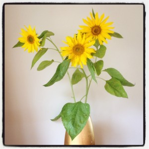 summer sunflowers from the garden of The Pink House Lulworth
