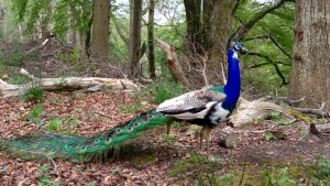 peacocks at Lulworth Castle ©The Pink House Lulworth holiday home accommodation